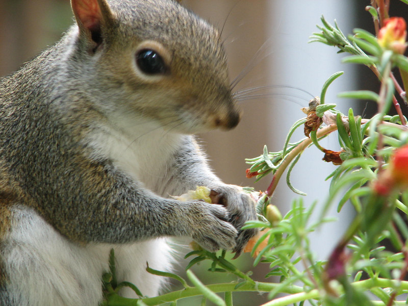 Eastern Gray Squirrel Eating Portulaca Blossoms