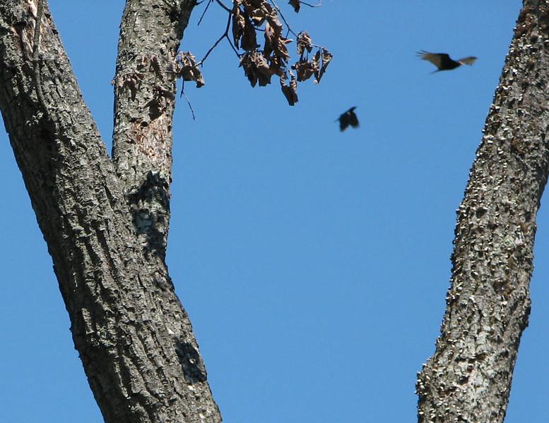 Crow Chasing Hawk