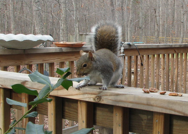 Yummy Pecans for Squirrel