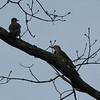 Time to Sing Those Love Songs - Female and Male Northern Flickers