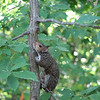 Another Lovesick Male Squirrel Trying to Approach on the Same Tree But Being Chased by Male Squirrel Above