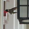 Male Ruby-throated Hummingbird at Feeder - See the Beak in Feeder and Tiny Feet