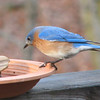 Okay Let's Get Back to the Mealworms - Male Eastern Bluebird