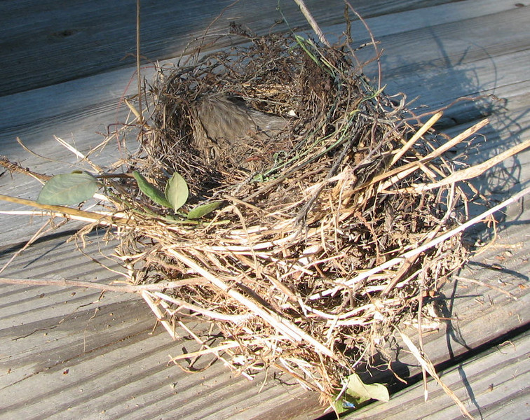 Seems Like Another Nest Was Begun on Top of the Dead Finch But Abandoned