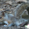 Could This Be a Grey Squirrel Mama Finished Nursing Babies or Pregnant