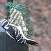 Hairy Woodpecker - Male