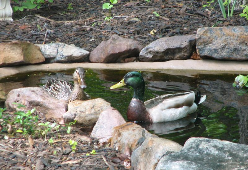 Taking Time to Smile for the Photos - Mr. and Mrs. Mallard
