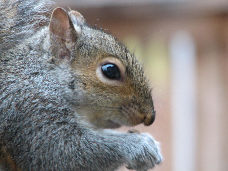 And Smiles for the Camera - Eastern Gray Squirrel