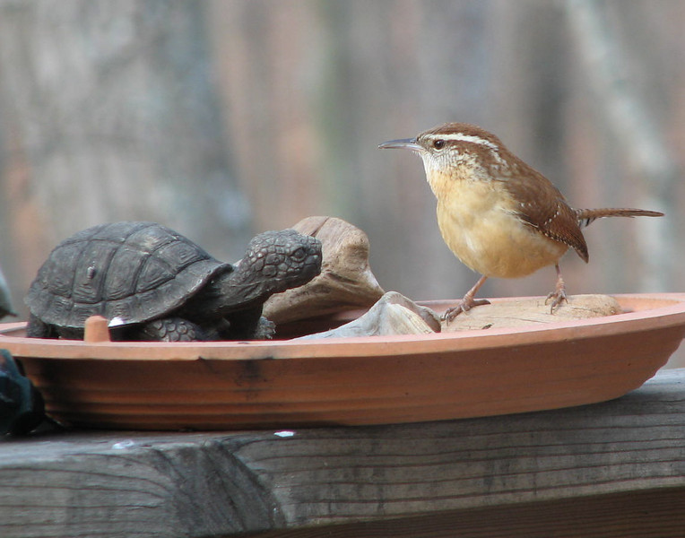 Hey Who Put the Turtle In Charge of Mealworms - Carolina Wren