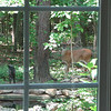 Deer at Pond Watching Me Watching Her