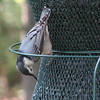 White-breasted Nuthatch Eating Upside Down as Usual