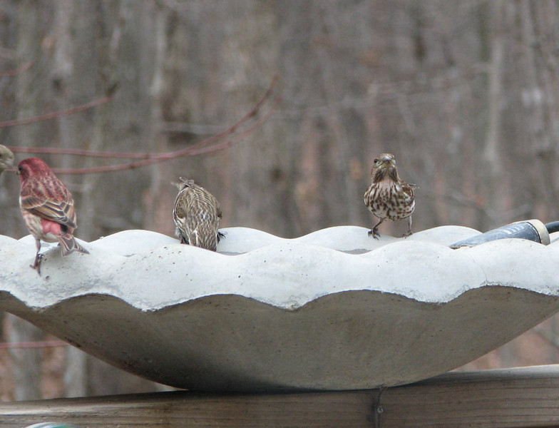 The Purple Finch Bathing Party