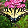 Female Yellow Eastern Tiger Swallowtail Butterfly on Anthony Waterer Spirea