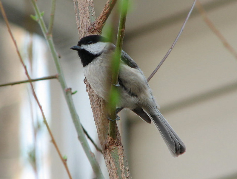 Black-capped Chickadee Singing Away While a Neighbor and I Talked by This Small Black Willow Tree