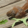Carolina Wren Fledgling Looking at His Shadow