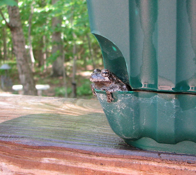 This Gray Tree Frog Returns to Our Deck Planters Every Year