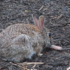 Our Nibbling Rabbit Visits Before Dark
