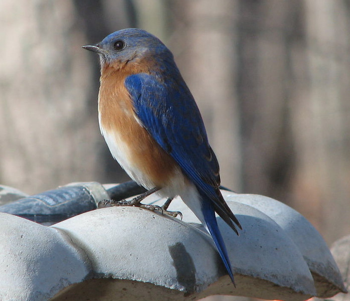 He's Letting the Mrs. Eat Mealworms First - Male Eastern Bluebird