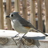 Slim and Trim - One Seed at a Time - Tufted Titmouse