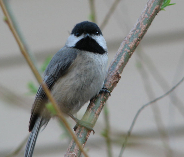 What Pretty Coloring on the Feathers - Black-capped Chickadee