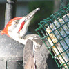 Anybody Have a Napkin for the Pileated Woodpecker