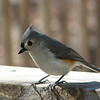 I've Got a Little Missy I'm Trying to Find - Tufted Titmouse