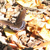 Red-spotted Purple Admiral Butterfly at Fruit Pile in Front
