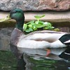Look At Those Bright Orange Feet and Cute Little Duck Tail on Mr. Mallard Duck