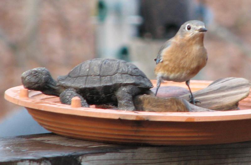 Hey Honey, He's Not Budging For Me - Female Eastern Bluebird