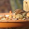 Carolina Wren at New Nut and Fruit Mix
