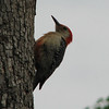 The Male Red-bellied Woodpecker Sits on the Eggs During the Night