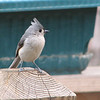 What Do You Think of My New Hairdo - Tufted Titmouse
