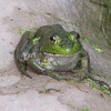 Green Frog by the Pond