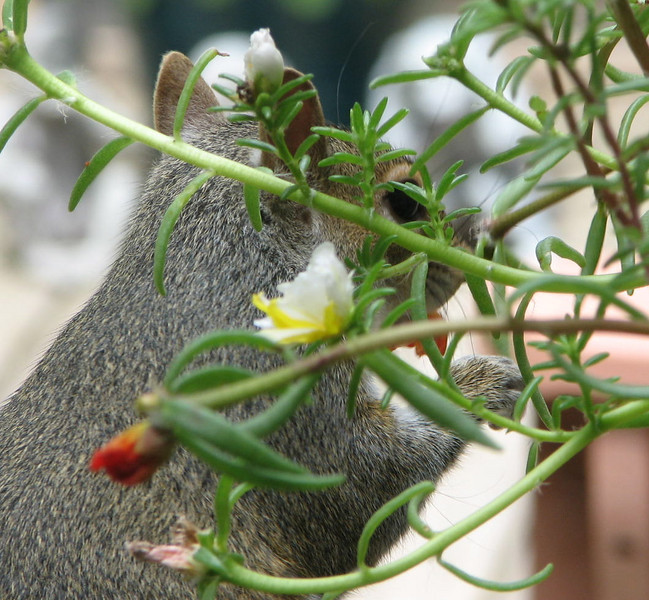 Peek-a-Boo I See The Gray Squirrel Eating the Portulaca Flowers