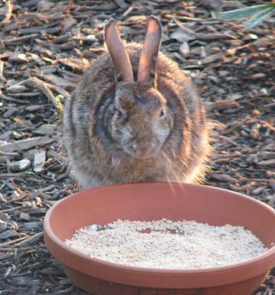 Big Older Rabbit Outside of Office Window - Looks Like An Injured Eye