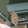 Yummy Sunflower Seeds for Me - Female Purple Finch