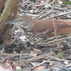 Brown Thrasher Under Large White Butterfly Bush_2