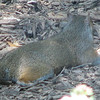 Gray Squirrel Taking a Break - Believed to Be Pregnant