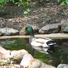 Mrs. Mallard Has Left and Mr. Mallard Is Watching