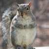 Now, Can I Have My Lunch - Eastern Gray Squirrel