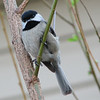 Is That a Smile for the Camera - Black-capped Chickadee