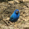 What a Pose for the Male Indigo Bunting
