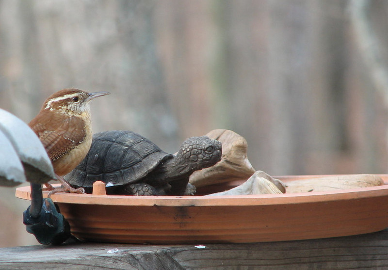 What Do You Mean I Have to Wait My Turn - Carolina Wren