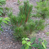 Austrian Pines Are Growing - We Put Two of Them on the Front Pine Bank