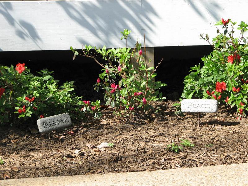 Azaleas Beginning to Bloom 4-20