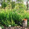 Early September Garden - This Area Around the Smaller Willow Filled in Profusely with Petunias, Salvias, Unknown Vine with Fruit, and Pigweed