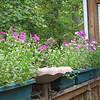 Heritage Petunias on Deck - Sweet Aroma