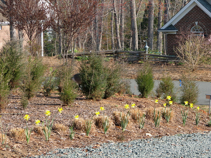 The Driveway Daffodils Bloom While the Cedars Show Their Mild Winter Growth