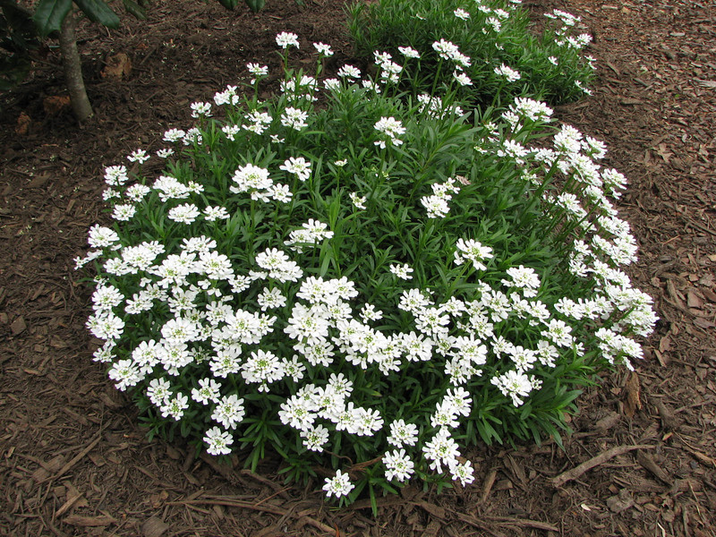 Iberis or Candytuft Growing and Blooming Brighter Every Year