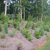 Pine Bank Coming Along - Will Provide Winter Cover for Birds